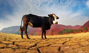Taxes: Livestock Sold on Account of Drought